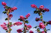 stock photo of plant species  - Ribes sanguineum  - JPG