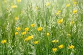 picture of buttercup  - Meadow flowers in grass - buttercup (springtime) lit bu sunlight ** Note: Shallow depth of field - JPG