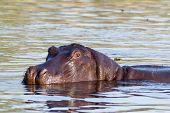pic of hippopotamus  - portrait of Hippo Hippopotamus Hippopotamus - JPG