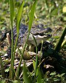 Gator In Marsh