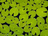 foto of bayou  - A field of Lily Pads look like a group of PAC Men trying to eat each other in a bayou in Northwest Florida - JPG