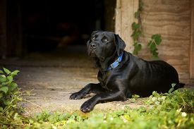 picture of seeing eye dog  - Beautiful Black Labrador Retriever lying down inside the door of an old barn - JPG