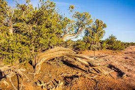 picture of juniper-tree  - An ancient gnarled juniper tree near Navajo Monument park utah - JPG