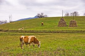 picture of calf cow  - Cows and calves on a pasture at mountain meadow - JPG