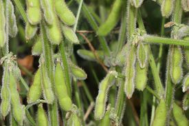 pic of soybeans  - Soybeans in their pods in a soybean field - JPG