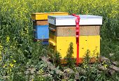 foto of bee keeping  - bee hives on a colza field in friesland - JPG