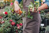Partial View Of Gardener In Apron Cutting Rose With Pruning Shears poster