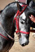 A Stallion Horse