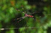 Golden Silk Orb-weaver (Nephila clavipes)