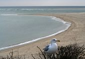 Seagull Cape Cod Beach Chatham