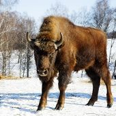 foto of aurochs  - Young wild bisons in the winter forest - JPG