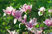 pic of saucer magnolia  - Pink abloom pair of magnolia flower with beautiful bokeh - JPG