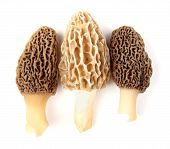 picture of morchella mushrooms  - Group of one yellow and two gray morel mushrooms  - JPG