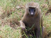Baboon On Safari