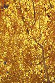 Aspen, Fall Colors