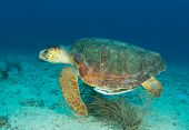 stock photo of plankton  - Loggerhead turtle swimming through the water in south Florida - JPG