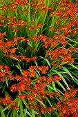 stock photo of crocosmia  - An explosion of orange and red crocosmia flowers