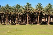 image of semi-arid  - agricultural date palm farm in dry semi - JPG