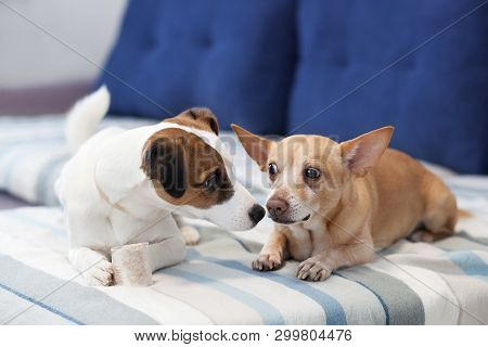 poster of Two Dogs Sit On The Couch And Share A Bone. Dogs Kiss. Close-up Portrait Of A Dog. Jack Russell Terr