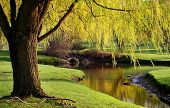picture of weeping willow tree  - Willow trees by the river side in Michigan park - JPG