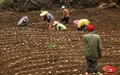 picture of farmworker  - -- planting ginger in a field in Taiwan