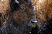 Bison In Herd