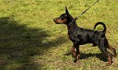 Energetic Dwarf Pinscher In The Meadow. Street Photo. Cropped Shot, Horizontal, Outdoors, Side View, poster