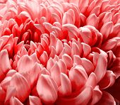 Chrysanthemum Close-up. Macro Photo. Close Up Macro poster