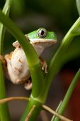 tree frog sitting on branch in tropical amazon rain forest Brazil, phyllomedusa hypochondrialis