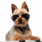 Yorkshire Terrier wearing sunglasses, sitting and looking forward on white studio background poster