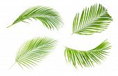 Green Leaves Of Palm Tree Isolated On White Background.the Collection Of Trees Green Leaves Of Palm poster