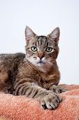 Grey Tabby Cat Portrait