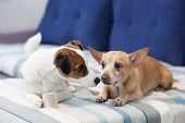 Two Dogs Sit On The Couch And Share A Bone. Dogs Kiss. Close-up Portrait Of A Dog. Jack Russell Terr poster