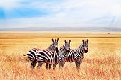 Group Of Wild Zebras In The African Savanna Against The Beautiful Blue Sky With Clouds. Wildlife Of  poster