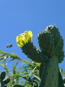 bee and yellow cactus flower