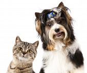 stock photo of yorkshire terrier  - Cat and dog - JPG
