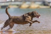 picture of dock a pond  - A Chocolate Labrador jumps into a lake as he trains to retrieve decoys - JPG