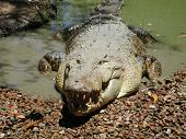 Crocodile In Australia