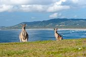picture of kangaroo  - This image shows Kangaroos in Emerald Beach Australia - JPG