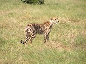 Cheetah In Botswana