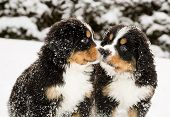 foto of fluffy puppy  - Snowy bernese mountain dog puppets sniff each others - JPG