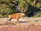 stock photo of cervus elaphus  - Male red deer  - JPG