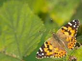 Painted Lady (vanessa Cardui) Sitting On Leaves With Copy Space