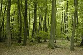 French Oak And Beech Forest Trees