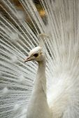 White peacock head and long neck on his tail background