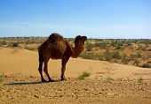 stock photo of hump day  - Wild camel in the Karakum desert - JPG
