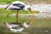 Painted Stork eating shellfish in the water