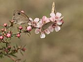 stock photo of dingy  - Australian Dingy Ring or Dusky Knight Ypthima arctous butterfly on native wildflower leptospernum pink cascade flowers - JPG