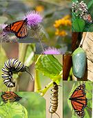 Monarch Life cycle from caterpillar to butterfly