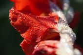 stock photo of gladiola  - Gladiola blossom with water drops in a super macro shot - JPG